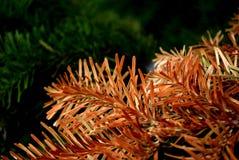 Macro aghi del pino Immagine Stock