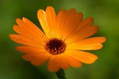 Macro alaranjado da flor imagens de stock