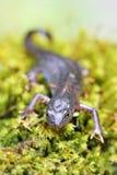 Macro alpina del newt su muschio verde Fotografia Stock Libera da Diritti