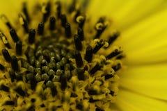 Macro amarelo brilhante da flor Fotos de Stock Royalty Free