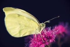 macro amarelo da borboleta Imagem de Stock Royalty Free