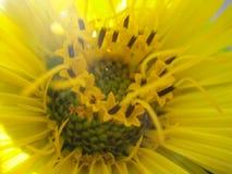 Macro amarilla de la flor Fotografía de archivo