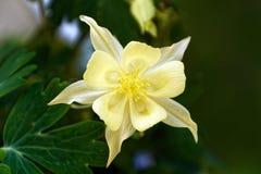 Macro amarilla de la flor de la aguileña Fotografía de archivo