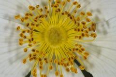 Macro amarilla de la flor del pistilo imágenes de archivo libres de regalías