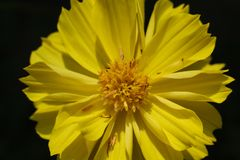 Macro amarilla de la flor y del pétalo con el fondo negro fotos de archivo libres de regalías