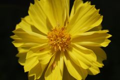 Macro amarilla de la flor y del p?talo con el fondo negro imagenes de archivo