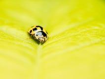 Macro amarilla de la mariquita Foto de archivo libre de regalías