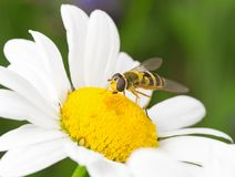 Macro amarilla de la mosca fotos de archivo libres de regalías