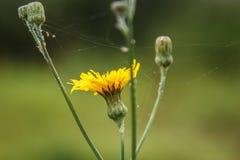 Macro amarilla del diente de león, macro del web Imágenes de archivo libres de regalías