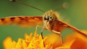 Macro amazing butterfly sitting on beautiful brightly coloured summer flower petals. Close-up animal feed by proboscis from a wonderful morning plant. Insect stock video footage