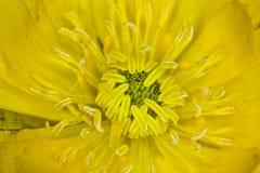 Macro ambiti di provenienza di giallo del primo piano del fiore Fotografie Stock