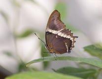 Macro amiral Butterfly du ` s de Lorquin Images libres de droits