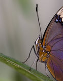 Macro amiral Butterfly du ` s de Lorquin Photographie stock libre de droits