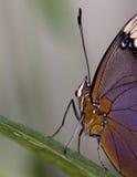 Macro ammiraglio Butterfly del ` s di Lorquin Fotografia Stock Libera da Diritti