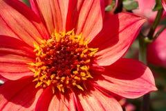 Macro anaranjada de la flor de la dalia Fotografía de archivo