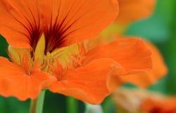 Macro anaranjada del extracto de la flor de la capuchina Imagen de archivo libre de regalías
