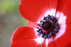 Macro Anemone Flower. Macro photo of a red anemone flower royalty free stock photos