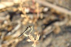 Macro animal d'insec de Dragounfly Image libre de droits