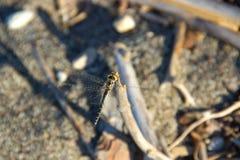 Macro animal d'insec de Dragounfly Images stock