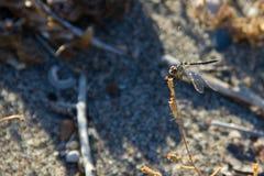 Macro animal del insec de Dragounfly Foto de archivo