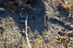 Macro animal do insec de Dragounfly Imagens de Stock