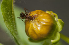 Macro Ant. Ant eating on top of budding flower stock photo