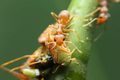 Macro ant and aphid Stock Images