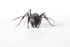 Macro of ant en face Stock Image