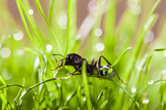 Macro ant in grass with dew Stock Image