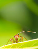 Macro of ant Stock Photography