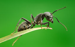 Macro of ant sitting on grass top. Ant on grass blade over green background, from below view Stock Image