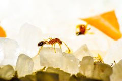 Macro ant sugar macrophotography redant Royalty Free Stock Images