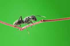 Macro of ant on twig. Macro of big black ant climbing on brunch over green background Royalty Free Stock Image
