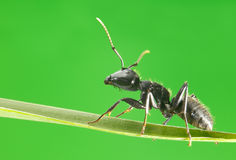 Macro of ant walking on grass. Black ant climb on grass over green background Stock Images