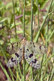 Macro antlion on grass Royalty Free Stock Images