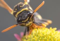 Macro ape fotografia stock