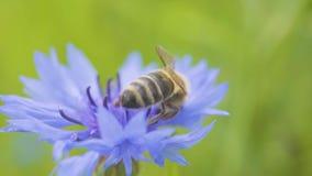 Macro ape grande di fucilazione che si siede sulla bella fine blu del fiordaliso su Il fiore è impollinato da un'ape nave archivi video