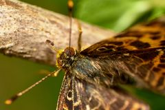 Macro of an Aphrodite Fritillary or Speyeria aphrodite butterfly stamding on stick stock photo