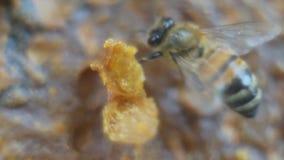 Macro api sul pettine del miele stock footage