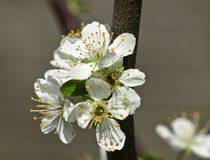 Macro of an Apple tree white blooming stock photo