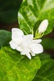 Macro Arabian jasmine Stock Photos