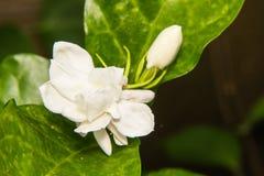 Macro Arabische jasmijn Royalty-vrije Stock Foto