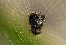 Macro araignée Image stock