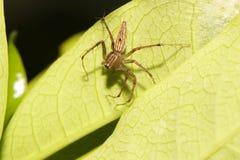 Macro araignée de Brown sautant sur la feuille verte photographie stock