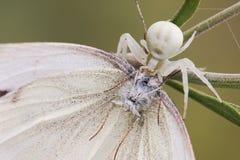 Macro araignée et sa victime Photo stock