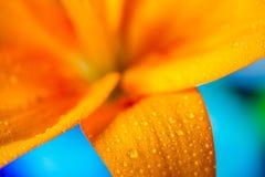Macro arancio del fiore del giglio fotografia stock
