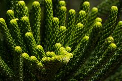 Macro araucaria branches closeup. Green coniferous plant. Monkey puzzle tree. Chilean pine. Macro araucaria branch closeup. Green coniferous plant. Monkey puzzle Royalty Free Stock Photo