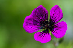 Macro of an Armenian cranesbill Stock Image