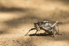 Macro of an Armoured Ground Cricket walking over sand in Kalahar. Macro of an Armoured Ground Cricket walking over sand in the Kalahari Royalty Free Stock Photos