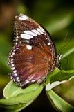 Macro ascendente cercana de la mariposa Imagenes de archivo
